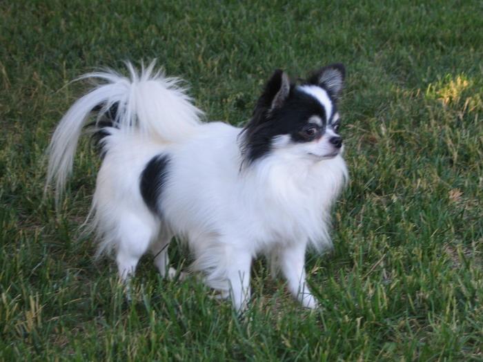 Long Hair Chihuahua Rescue | LONG HAIRSTYLES